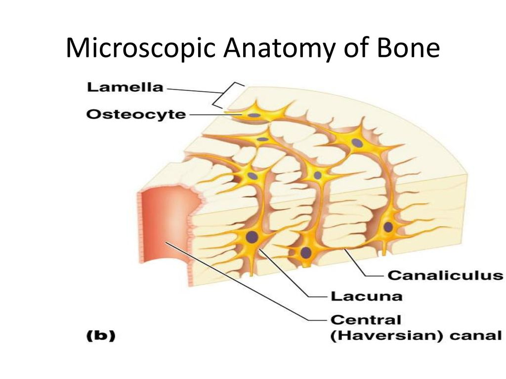 Funky Microscopic Anatomy Of Compact Bone Frieze - Anatomy and ...