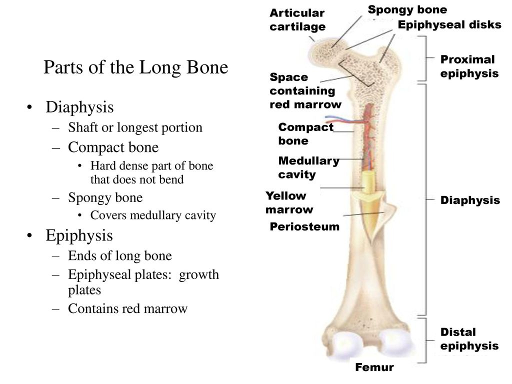 proximal epiphysis long bone diagram wiring diagram center Long Bone Description