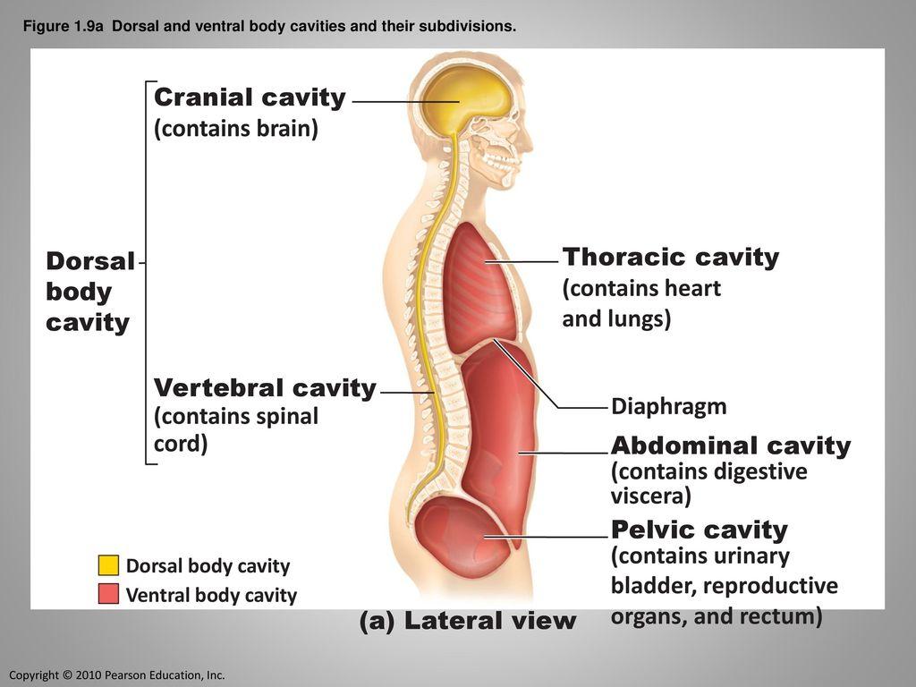 Language of Anatomy. - ppt download
