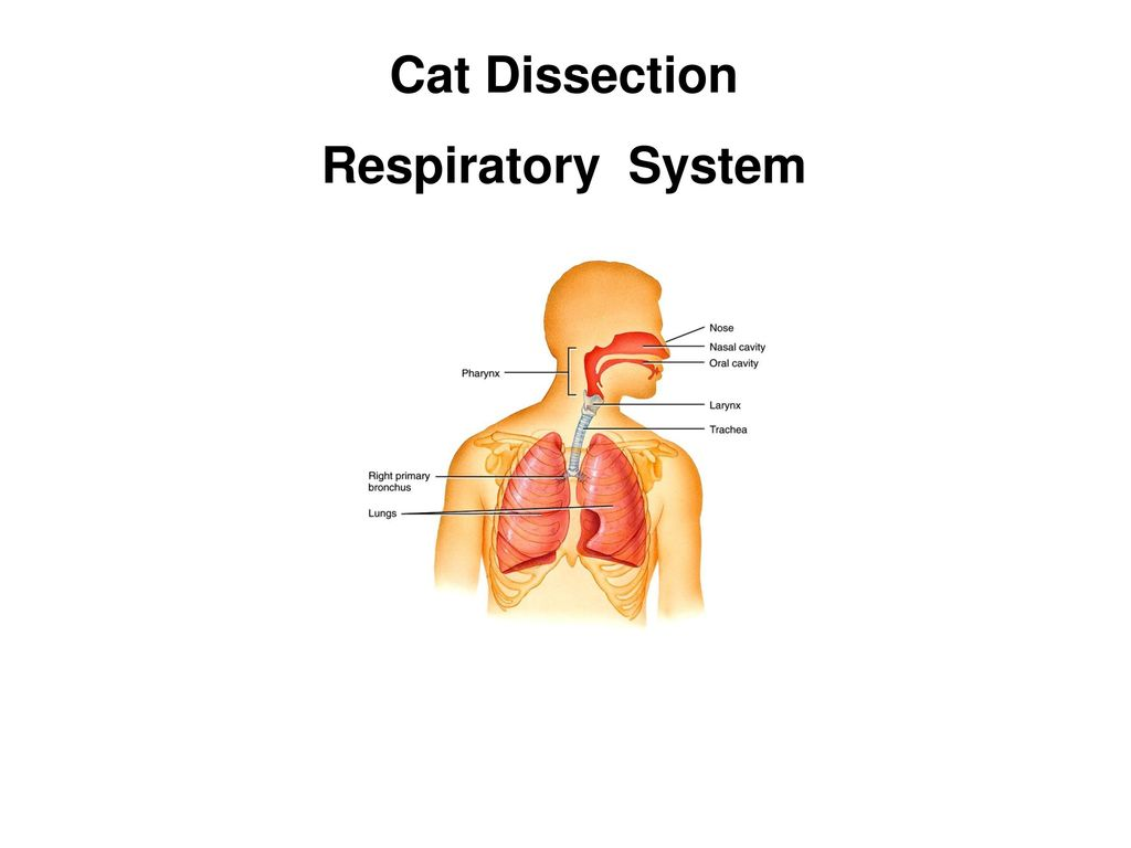 Cat Dissection Lymphatic System Ppt Download