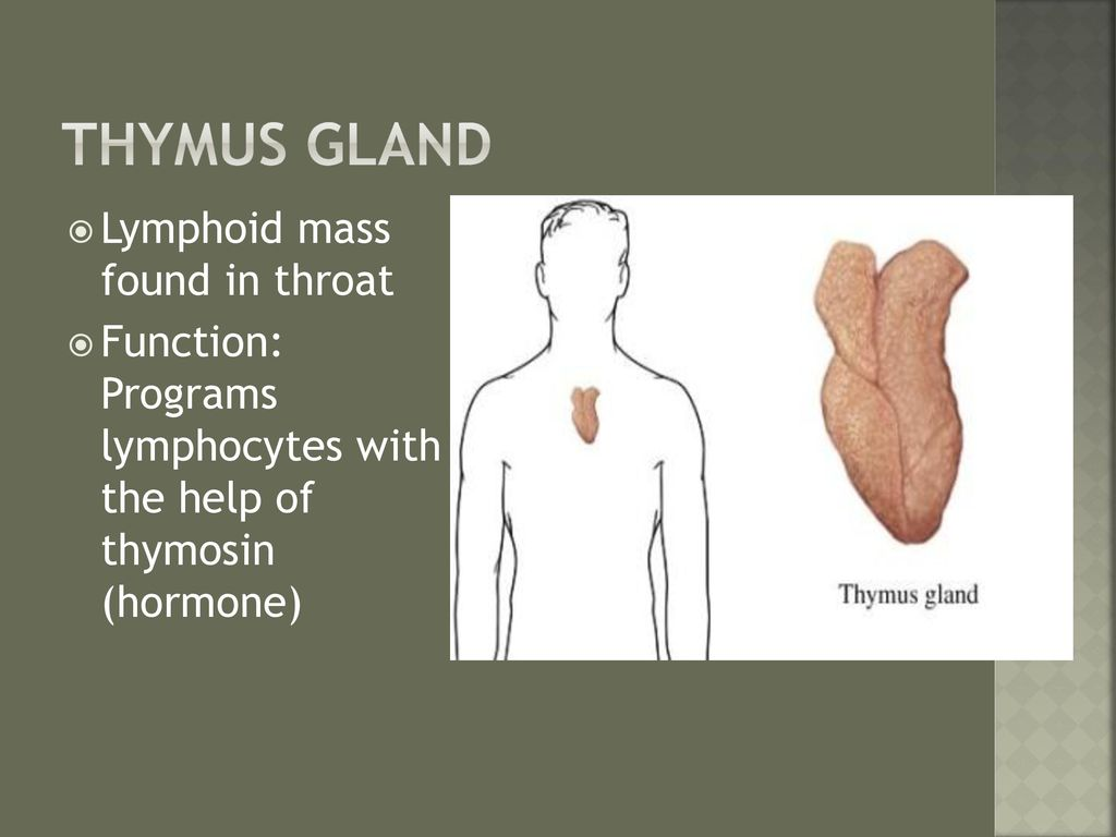 Perfect Function Of Thymus Gland Motif - Physiology Of Human Body ...