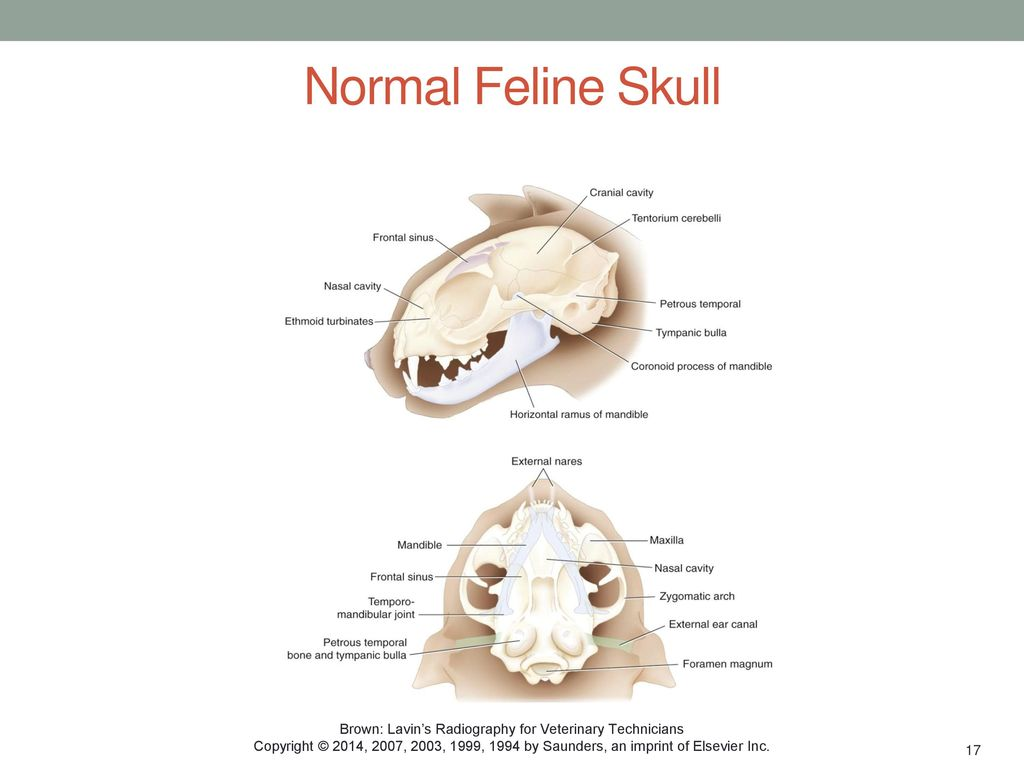 Small Animal Skull Chapter Ppt Download