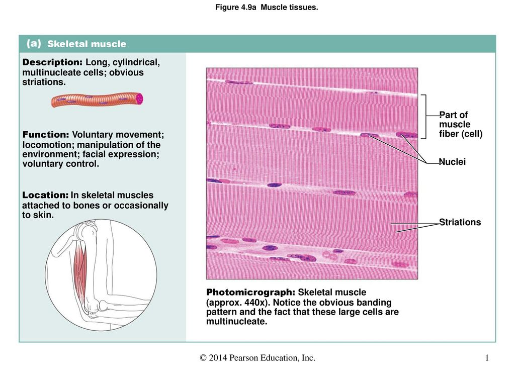 Figure 4.9a Muscle tissues. - ppt download