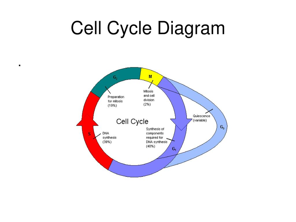 Cell Cycle Diagram | Cell Cycle Diagram Ppt Download