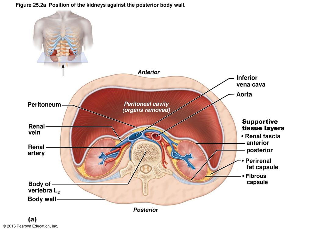 The Urinary System: Part A - ppt download
