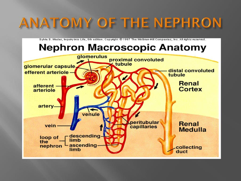 ANATOMY OF THE NEPHRON. - ppt download