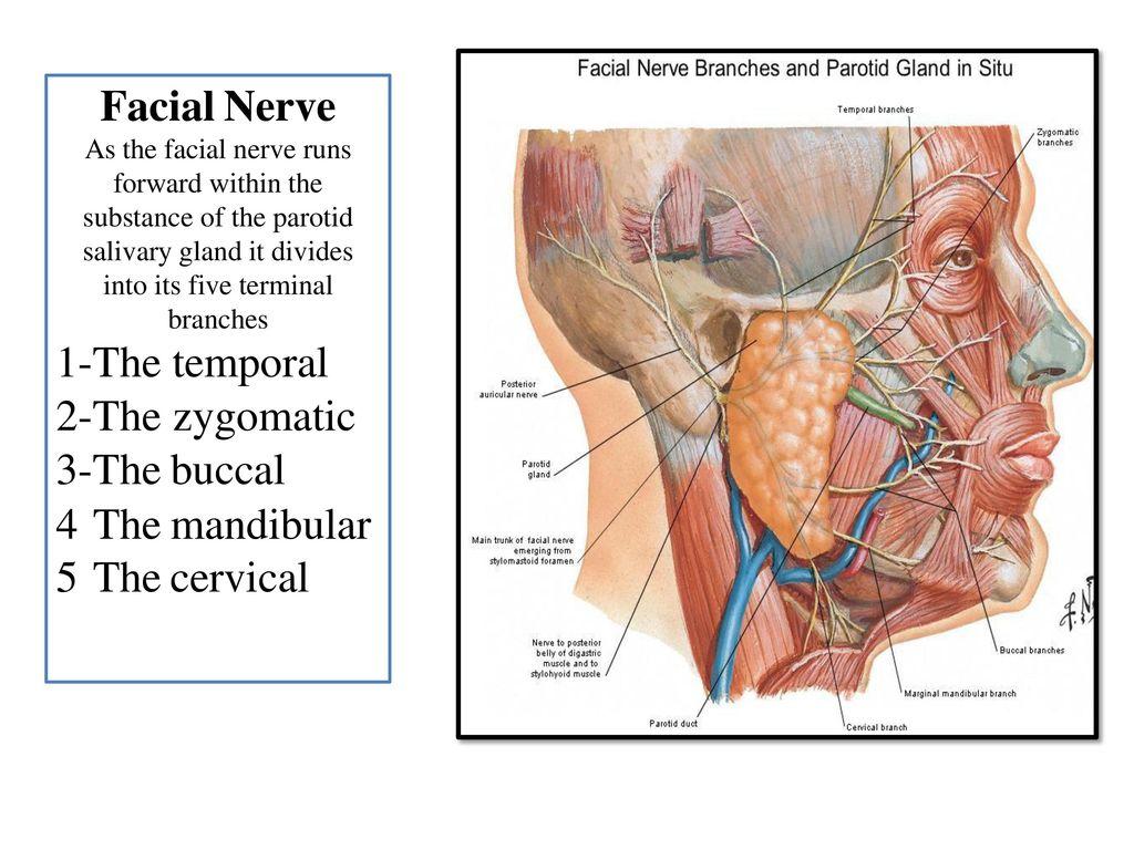 Enchanting Marginal Mandibular Nerve Anatomy Elaboration - Human ...