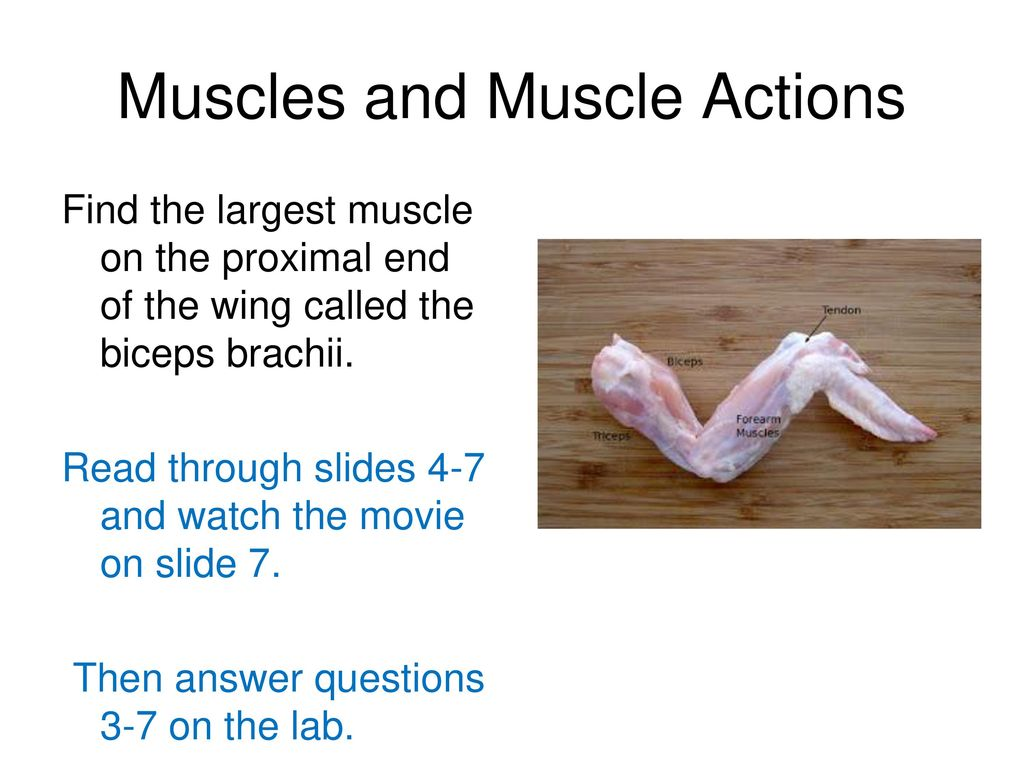 Chicken Wing Dissection Ppt Download Anatomy Diagram 3 Muscles And Muscle Actions