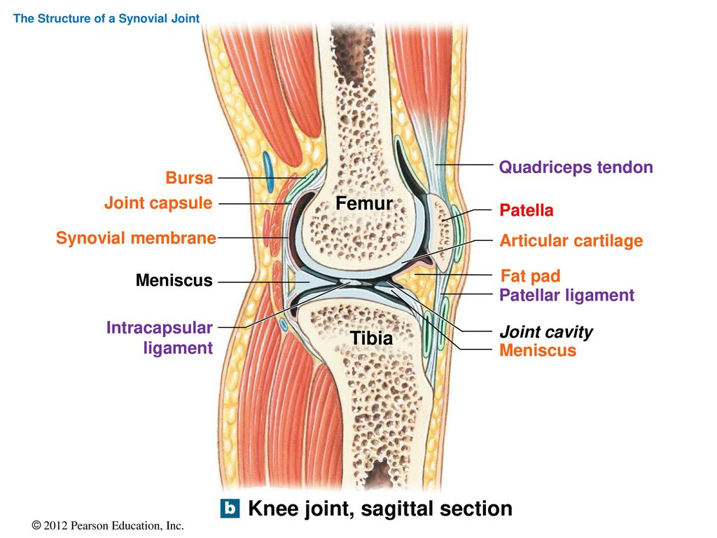 Contemporary Bursa Knee Anatomy Collection - Physiology Of Human ...