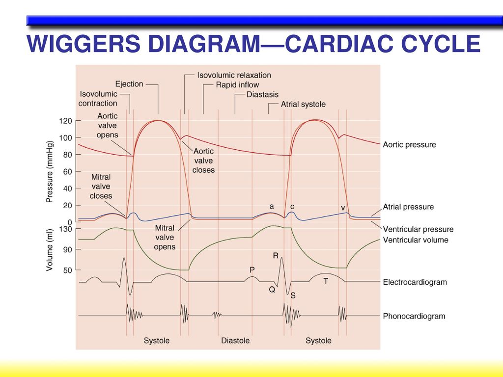 Cardiovascular control during exercise ppt download 10 wiggers diagramcardiac cycle ccuart Image collections