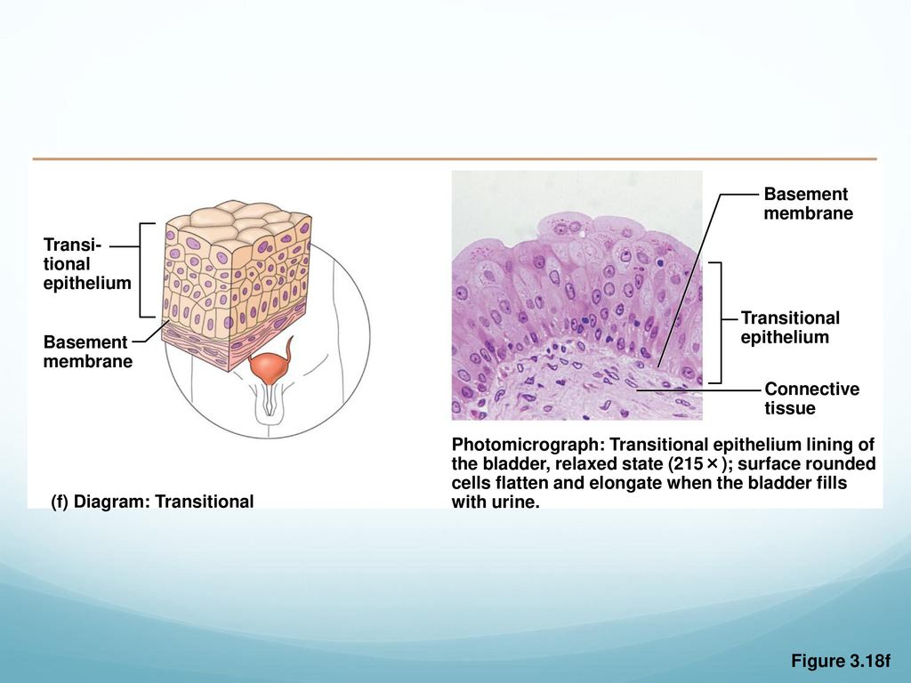 chapter 3 tissue types. - ppt download