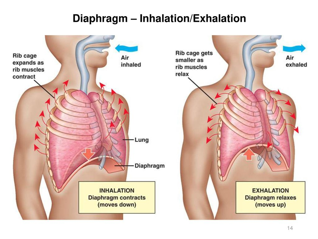 Activity 11 Respiratory And Digestive Systems Ppt Download Below Is A Diagram Of The Inhalation Exhalation With Anatomical 14 Diaphragm