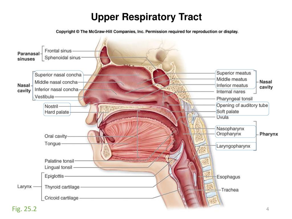 Activity #11: Respiratory and Digestive Systems - ppt download