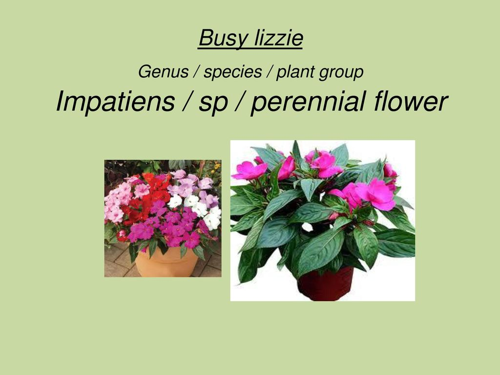 Polka Dot Plant Genus Species Plant Group Hypoestes
