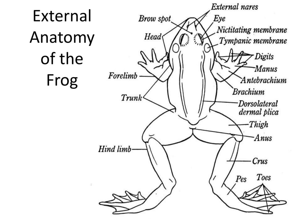 Body Structure Diagram Of Frogs Outside - Complete Wiring Diagrams •