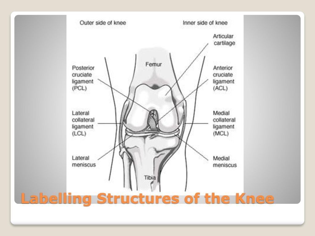 The Knee Ppt Download