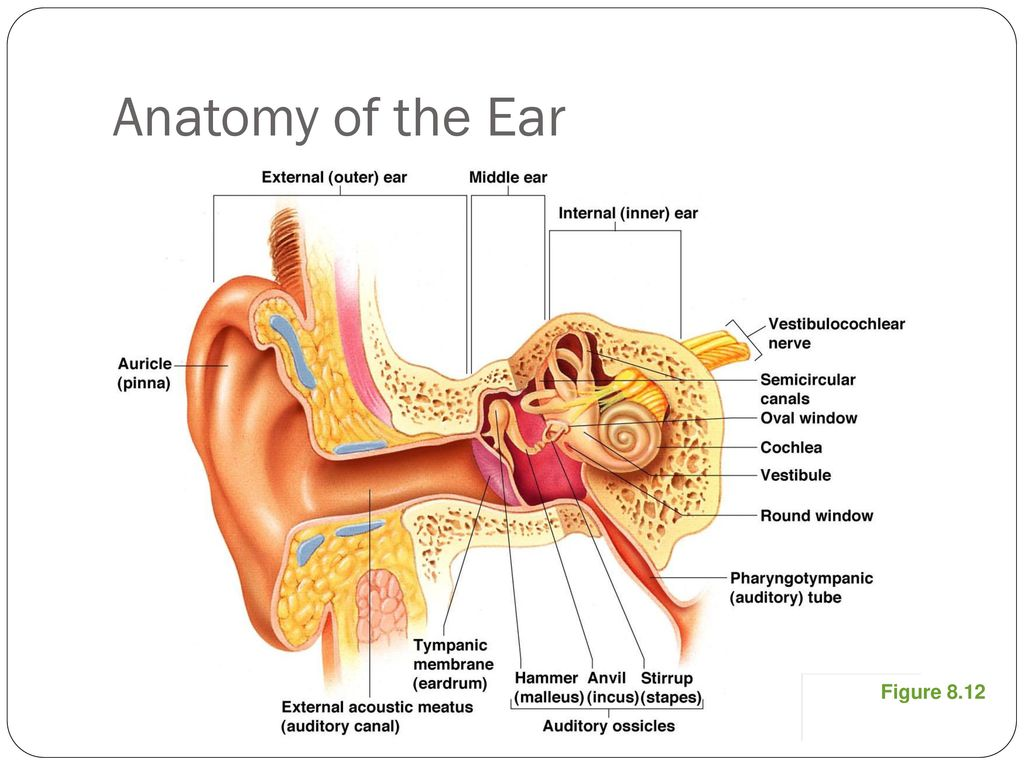 Amazing Outer Ear Anatomy Pinna Component - Human Anatomy Images ...