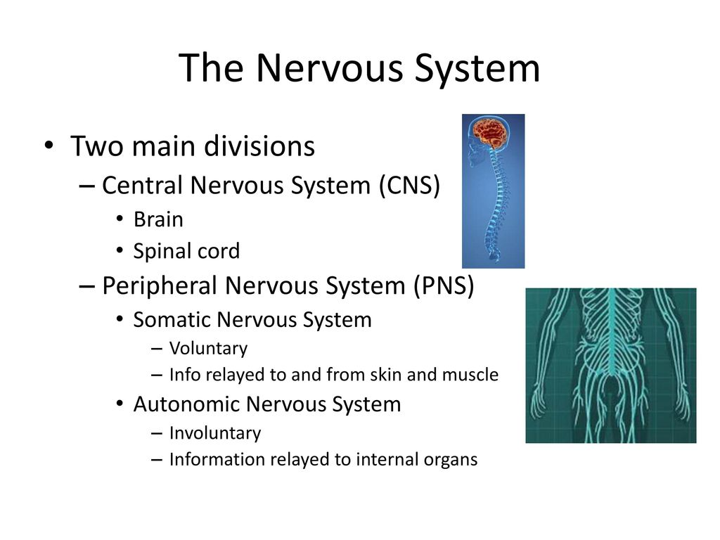 Fine Nervous System Anatomy And Physiology Images - Physiology Of ...