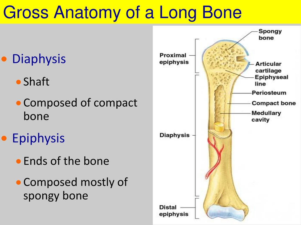 Gross Anatomy Of A Long Bone Choice Image - human body anatomy