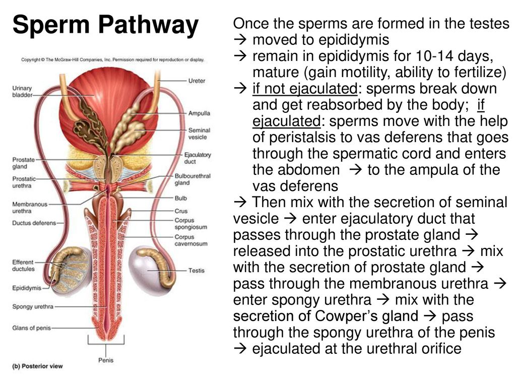 "Chapter 28 ""MALE"" and Female Reproduction System - ppt download"