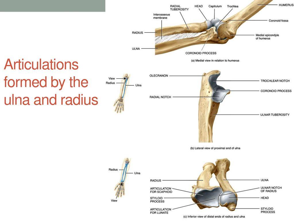 Fantastisch Radius Ulna Ideen - Physiologie Von Menschlichen ...