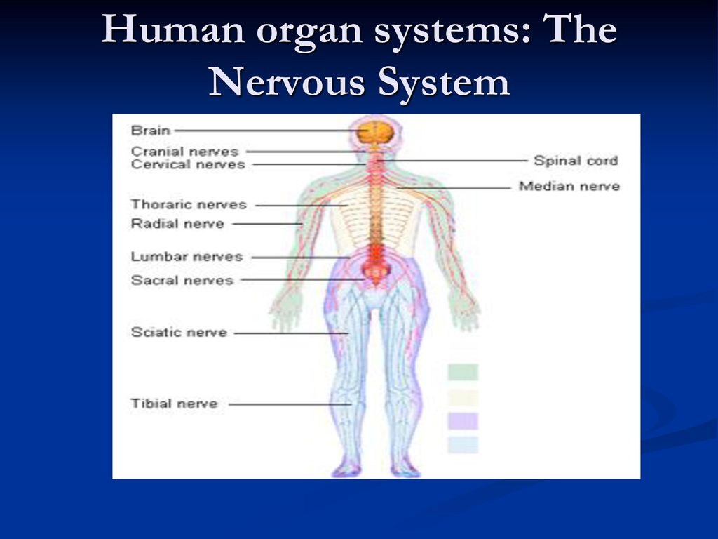 Human organ systems: The Nervous System - ppt download