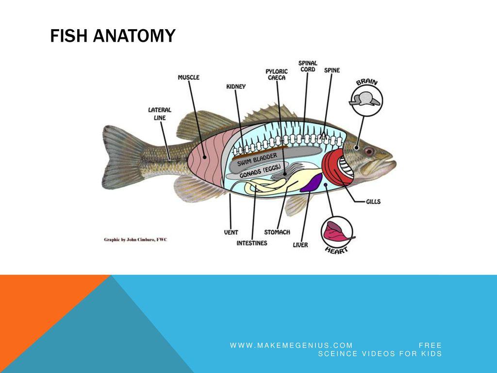 Fantastic Fish Heart Anatomy Elaboration - Physiology Of Human Body ...