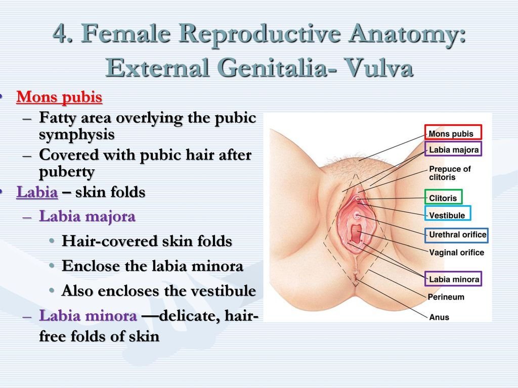 The Reproductive System Ppt Download