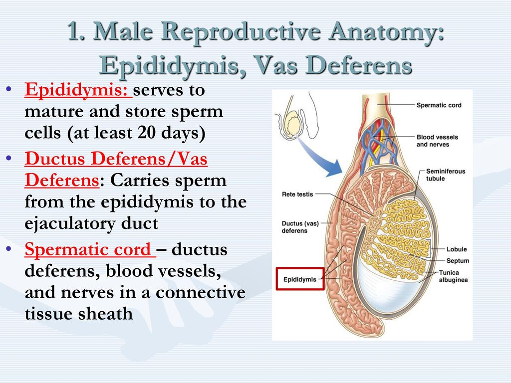 Famous Vas Deferens Anatomy Ensign Anatomy And Physiology Tissue