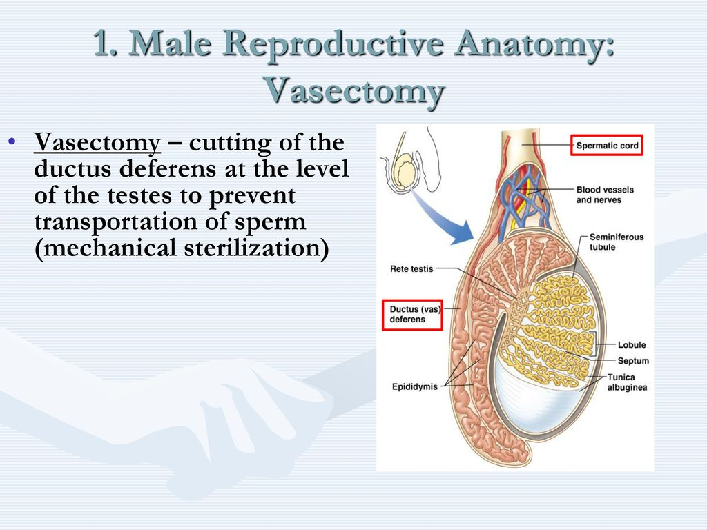 The Reproductive System - ppt download