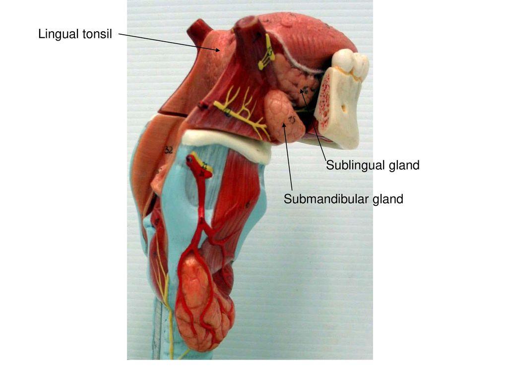 Oral cavity proper Internal nares Fauces Oral vestibule Esophagus ...