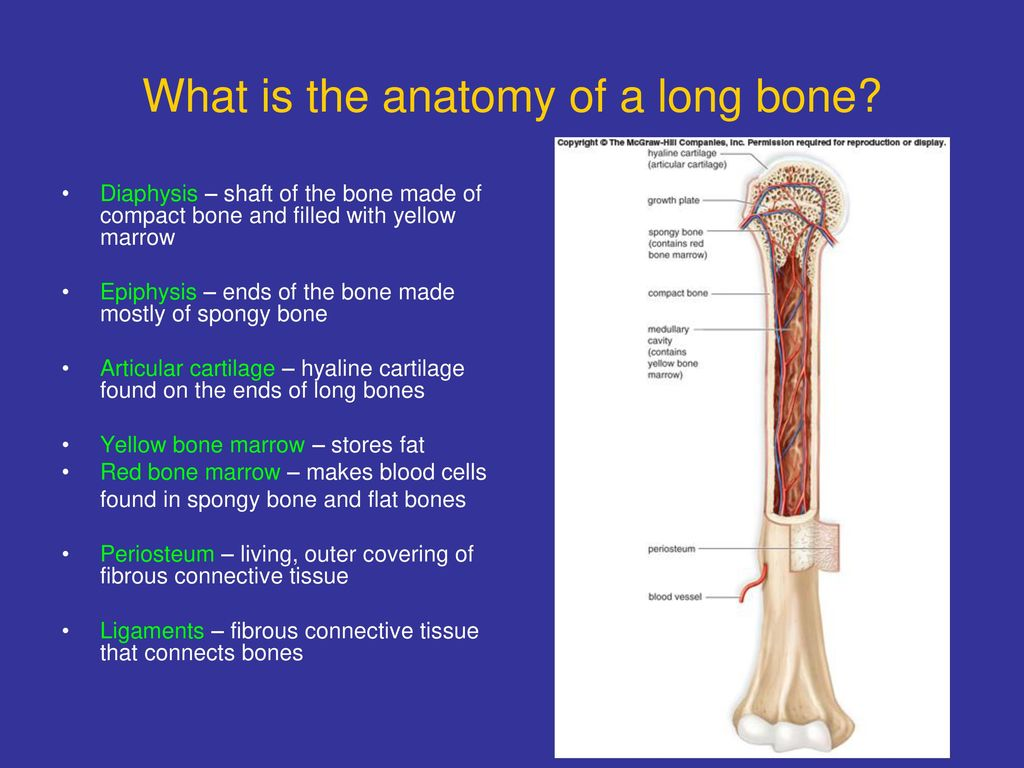 What is the anatomy of a long bone? - ppt download