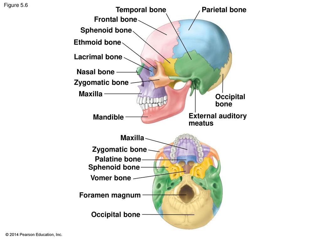 Dorable Location Of Sphenoid Bone Collection - Physiology Of Human ...
