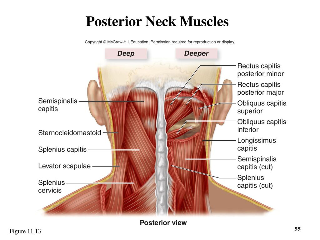 Posterior Cervical Muscles Diagram - Auto Wiring Diagram Today •
