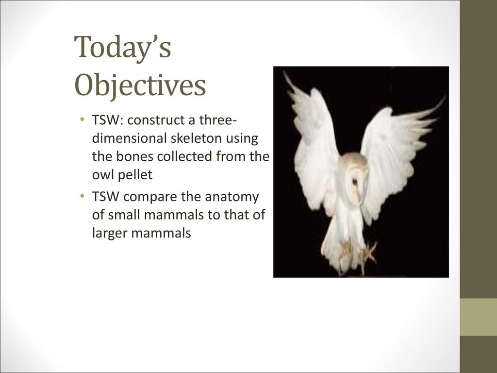 BARN OWLS. - ppt download