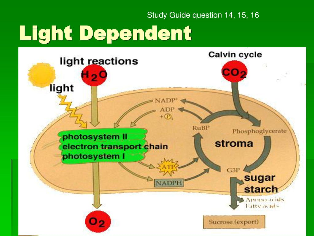 19 Light Dependent Study Guide question 14, 15, 16