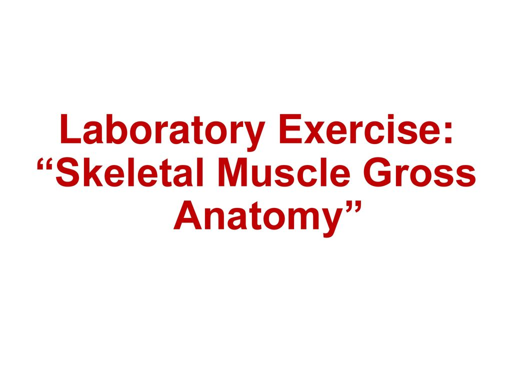 Skeletal Muscle Gross Anatomy Ppt Download