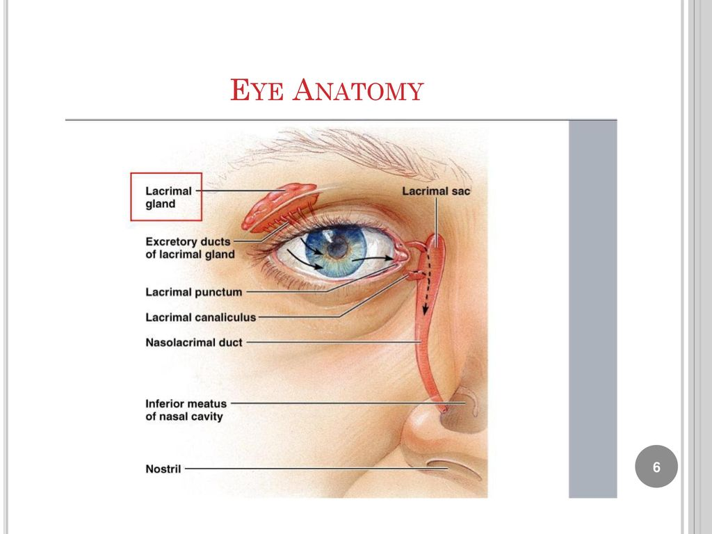 Lab 9 : Human Eye Anatomy Biology Department. - ppt download