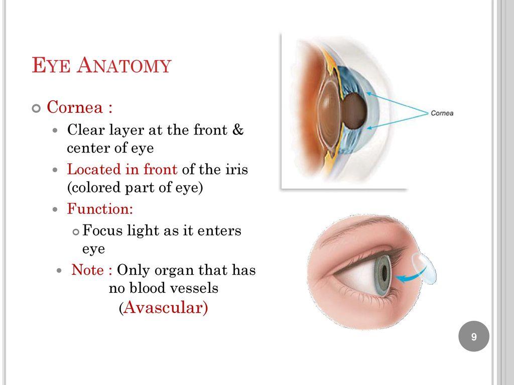 Fantastisch Cornea Anatomy And Physiology Galerie - Anatomie Ideen ...