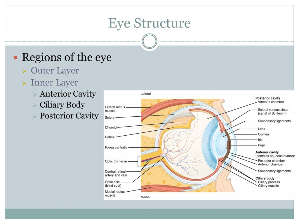 The Eye and Sight. - ppt download
