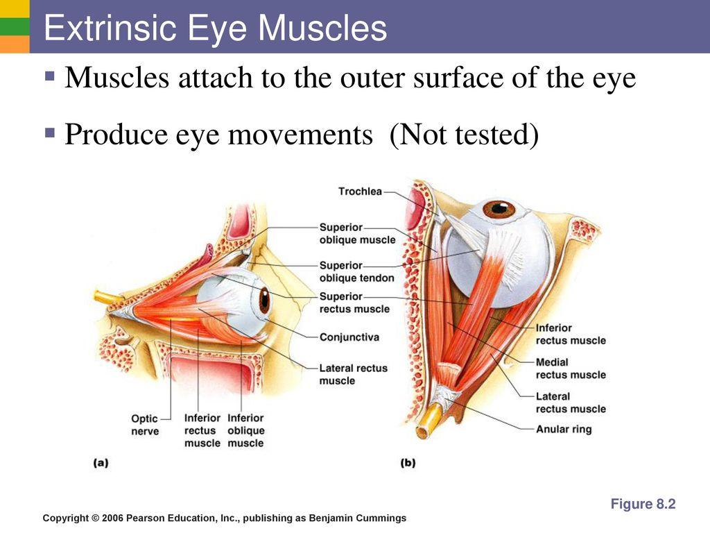 Eye Muscle Anatomy Image collections - human body anatomy
