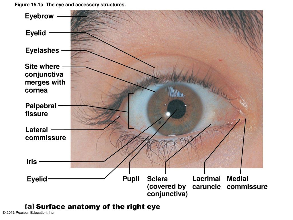 Anatomy of the Eye Dr.Spandana Charles MD - ppt download