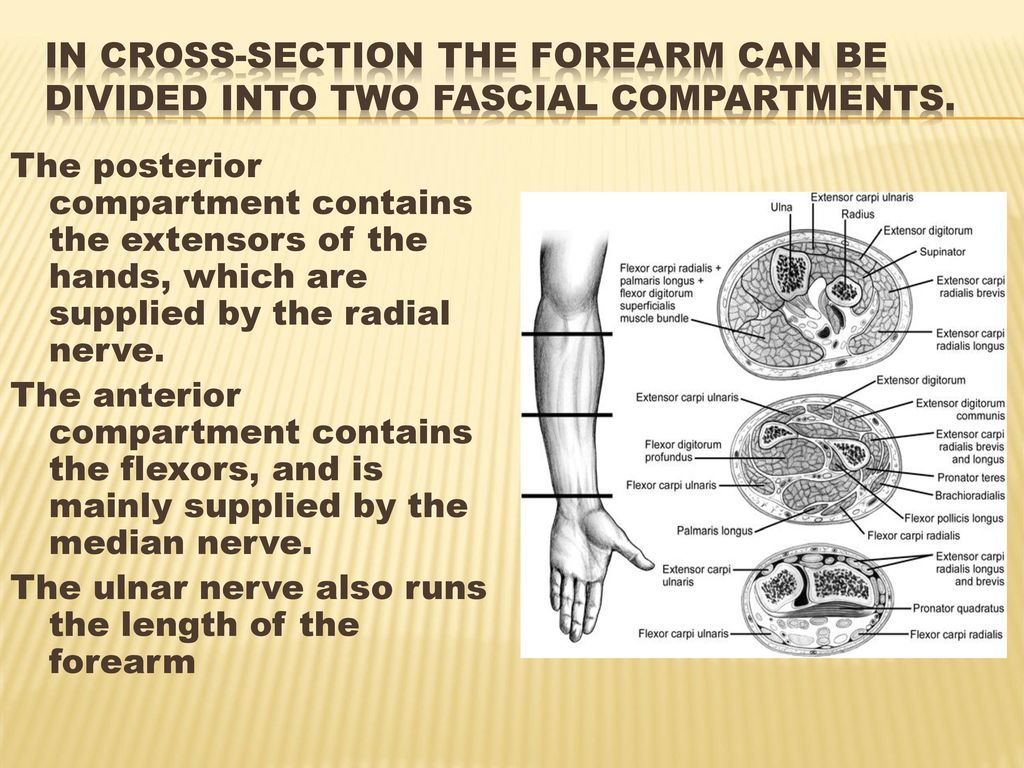 Anatomy Of The Forearm Ppt Download