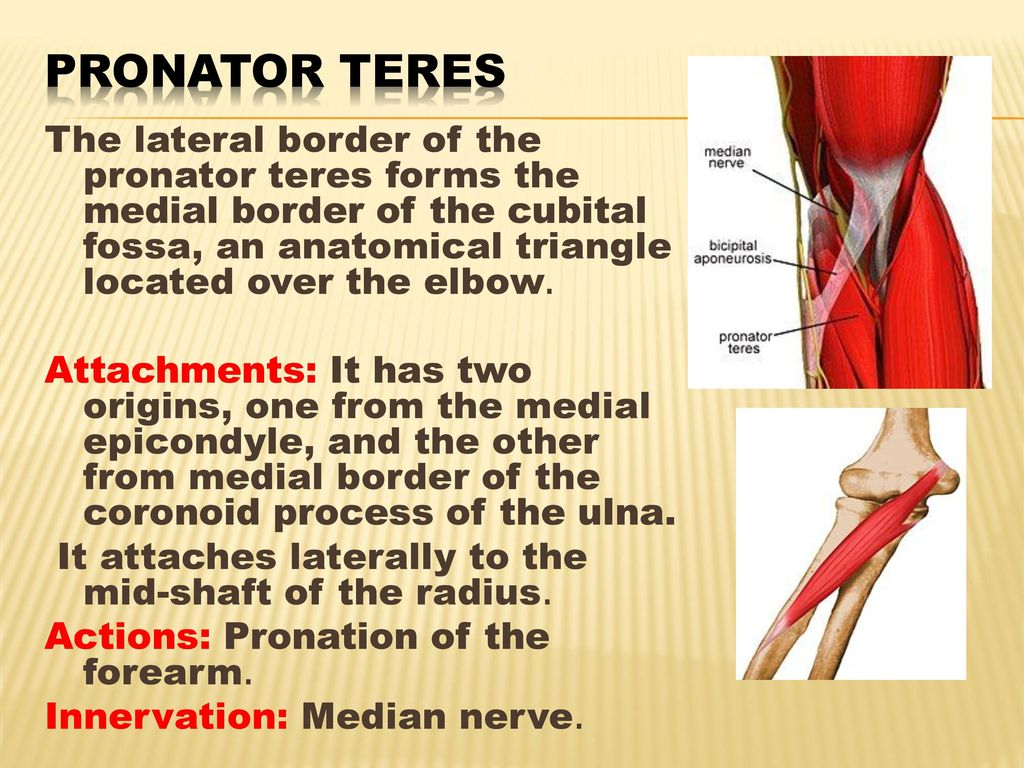 ANATOMY OF THE FOREARM. - ppt download