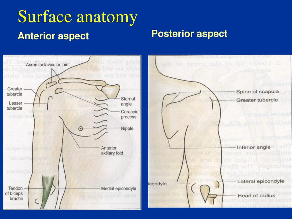 Luxury Surface Anatomy Of Arm Gallery - Anatomy and Physiology ...