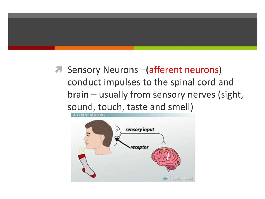 Types Of Neurons Hcs 2050 Slo Explain The Structure And Function Of