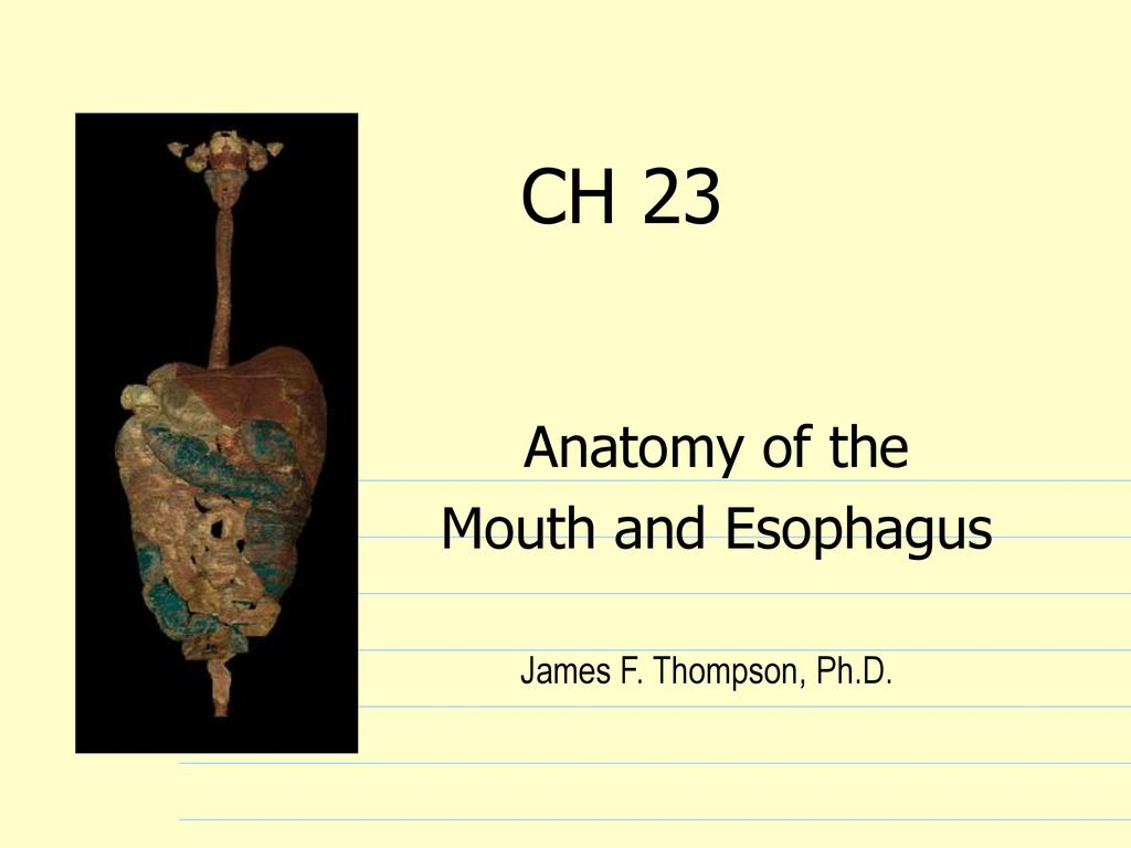 Anatomy of the Mouth and Esophagus - ppt download