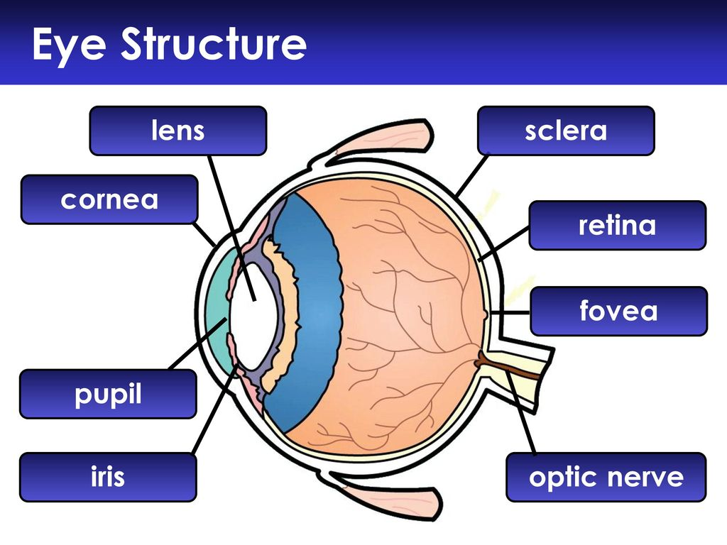 The Eye Part 1: Structure and Function of the Eye. - ppt download