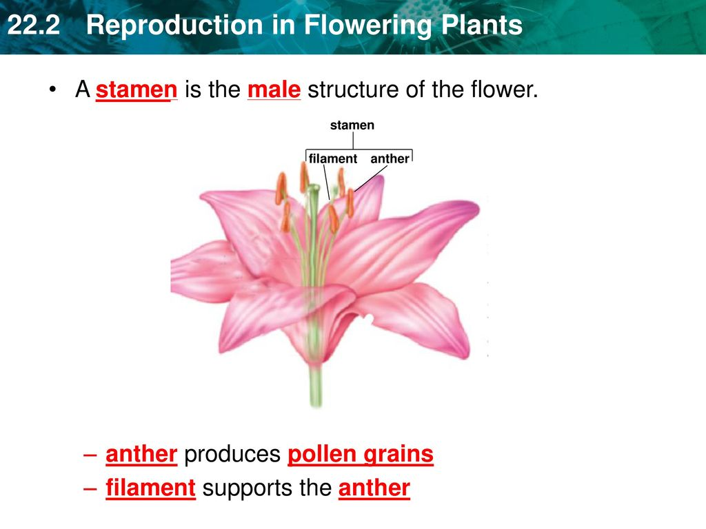 Flowers contain reproductive organs protected by specialized leaves a stamen is the male structure of the flower izmirmasajfo