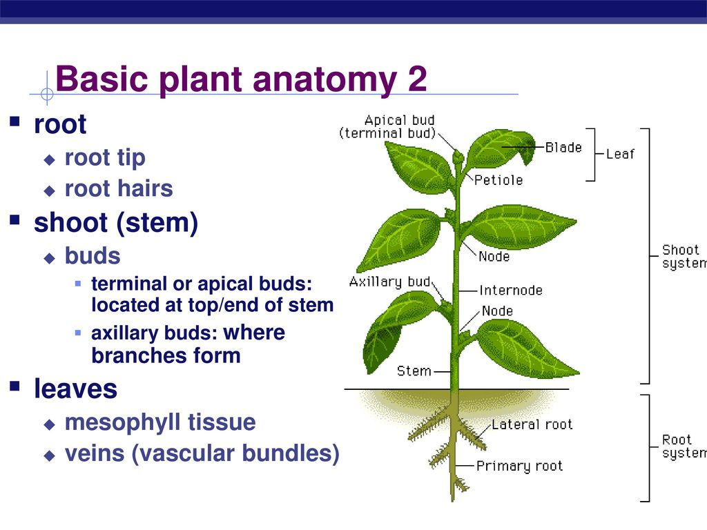 Modern Corn Plant Anatomy Photo - Physiology Of Human Body Images ...